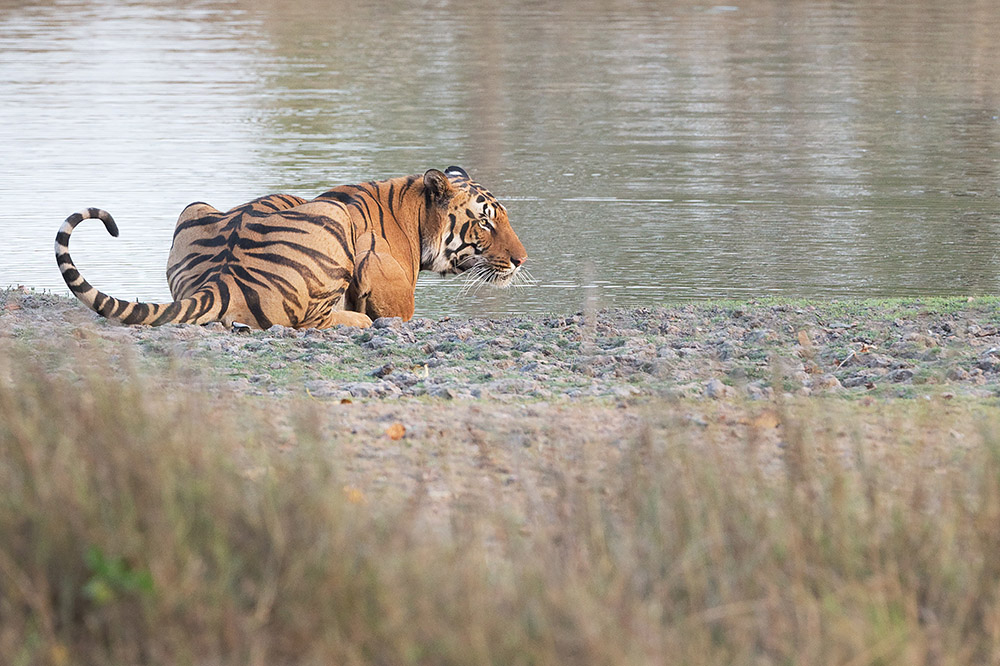 PHOTOGRAPH OF TIGER
